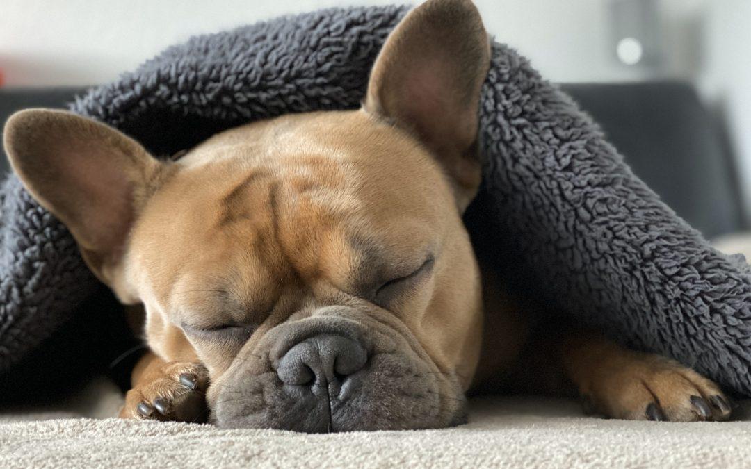 5 ting du skal vide om franske bulldogs